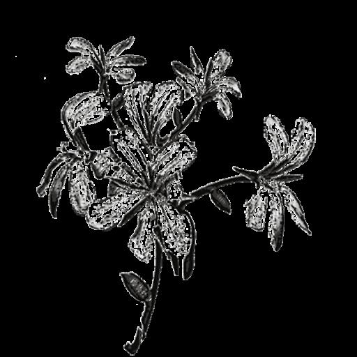 Géranium rosat